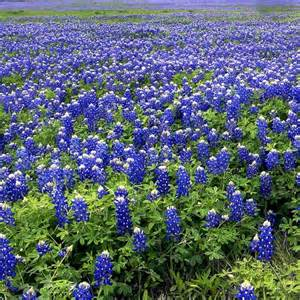 Florist Tx Top 5 Best Places To See Bluebonnets In