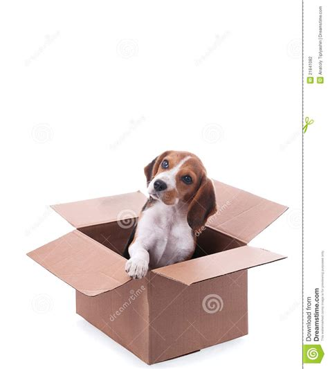 puppy in a box beagle puppy in box stock photography image 21841082