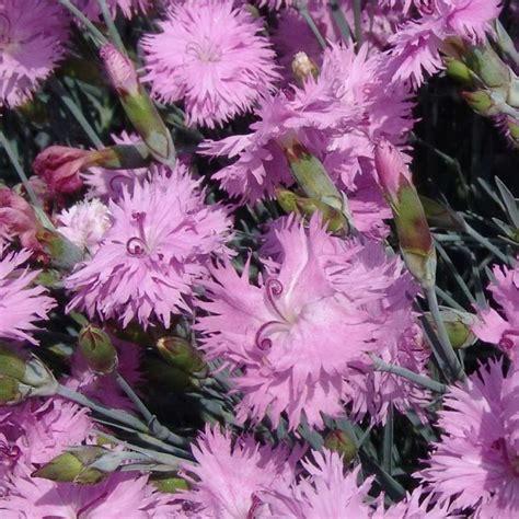 garofano fiore garofano piumoso dianthus plumarius dianthus plumarius