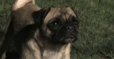 loca the pug loca the pug sings quot the pug that couldn t run quot the waggington post
