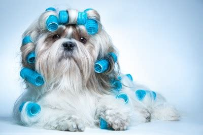 no haircut dogs do it yourself dog grooming for your small dog