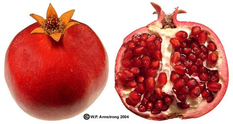 fruits with seeds coco plum mammee apple pomegranate persimmon photos