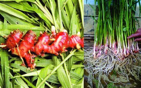Pupuk Npk Mutiara Buatan Rusia tanaman hidroponik jahe kebun net kumpulan budidaya
