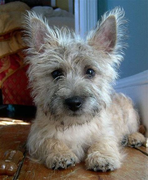 cairn terrier puppy bailey the cairn terrier puppies daily puppy