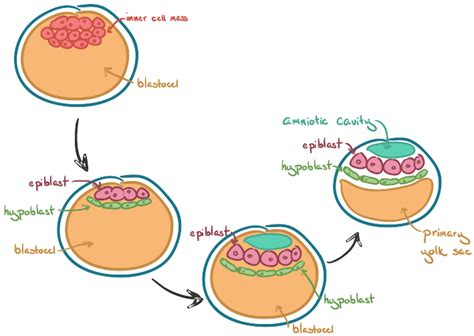 embryogenesis pattern formation from a single cell human embryogenesis embryology article khan academy