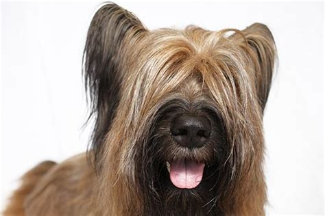Do Briards Shed by Briard Breed Information American Kennel Club