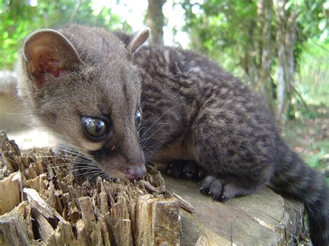 African Civet   Robert Howard   Flickr