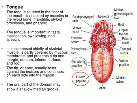 labelled diagram of the tongue histology of the cavity