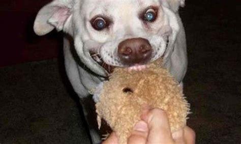im 225 genes de perros y gatos graciosas para el whatsapp perro pitbull imagenes divertidas imagenes graciosas 9