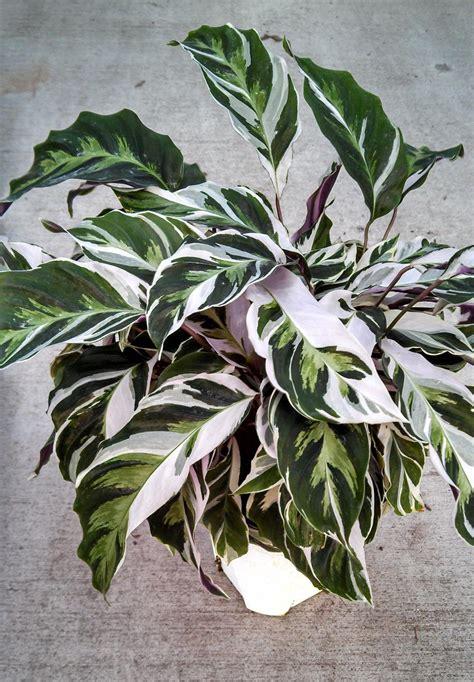 calathea fusion white photo biostok