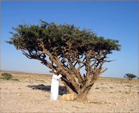 boswellia sacra frankincense tree 5 seeds