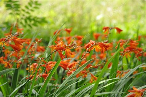 Orange Garden Flowers Crocosmia Orange Flower Stock Photo 169 Preciouspics 13869006