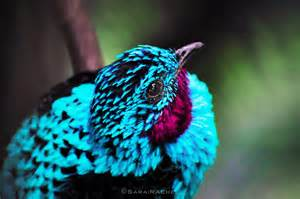 color bird inspired by the colorful cotinga bird scientists attempt