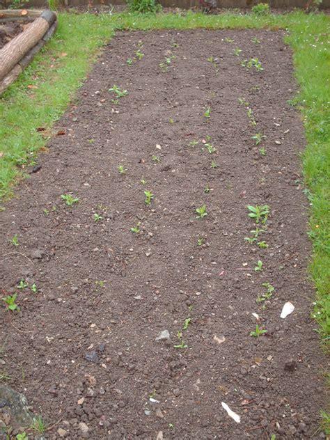 Topinambur Garten Pflanzen by Topinambur 187 Gartenbob De Der Gartenratgeber