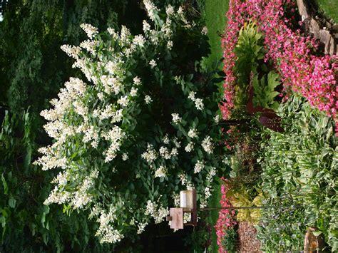 tardiva hydrangea tree archives knecht s nurseries