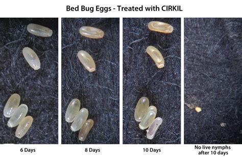 where do bed bugs lay eggs cirkil from terramera proof it works