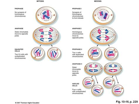 diagram a cell with four chromosomes going through meiosis diagram a cell with four chromosomes going images how to