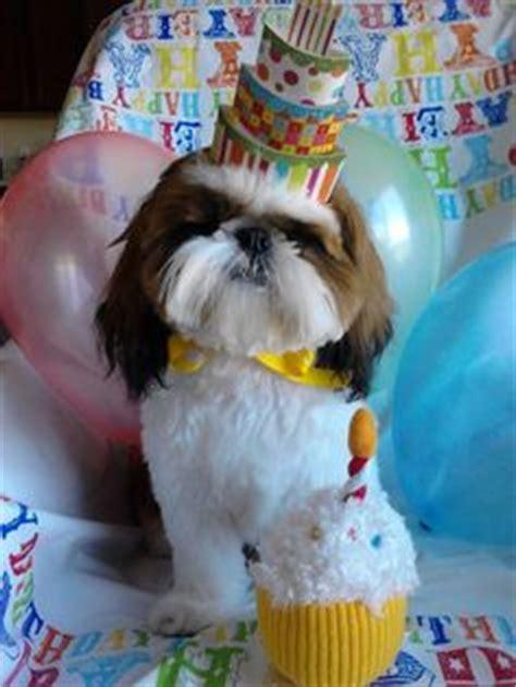 happy birthday shih tzu 1000 images about shih tzu on shih tzu shih tzu puppy and lhasa apso