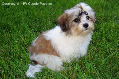 malshi dogs mal shi puppies for sale breeds picture