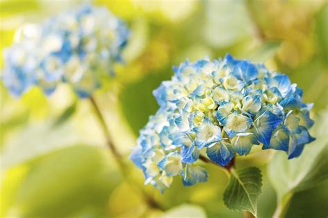 wallpaper flower hydrangea hydrangea wallpapers wallpaper cave