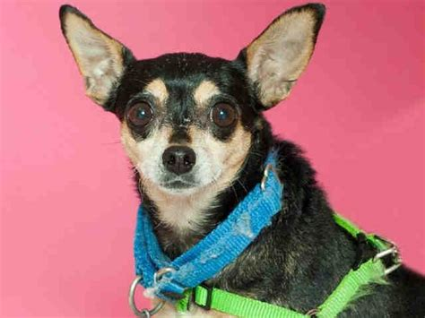 P 3116 Fork Animal Friends meet quot paquita quot an adorable min pin waiting for a home animal friends pittsburgh pa petharbor