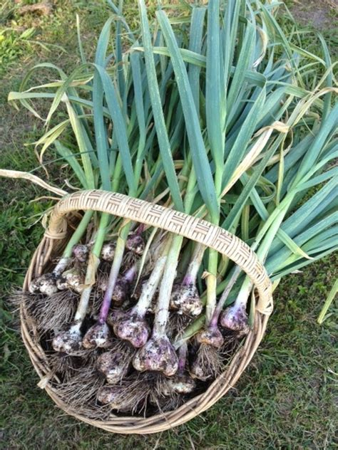 how to harvest garlic correctlybean there dug that