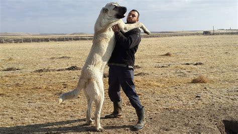 kangal puppies kangal dogs arena