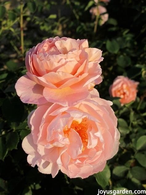 how to feed roses organically naturally hometalk
