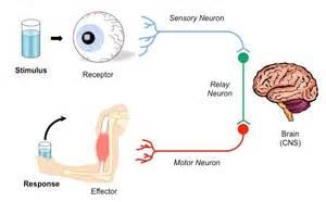 Outline The Pupil Reflex Ib Biology by Stimulus Response Bioninja