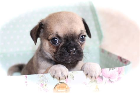 pug x puppies chihuahua puppies image search results breeds picture