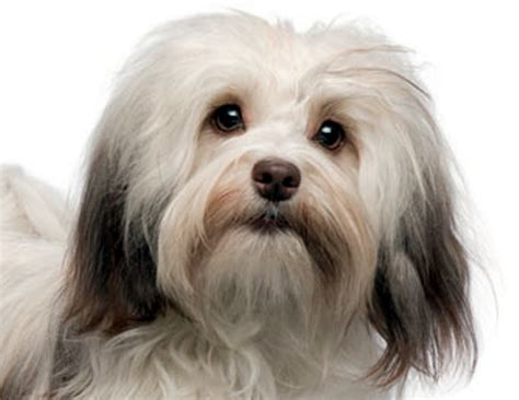 havanese blowing coat the tub 978 345 0770