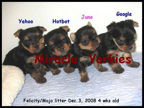 4 week yorkie puppy yorkies terriers yorkie breeder nc carolina terrier