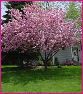 best flowering tree for front yard pink flowering pear tree for our front yard trees for