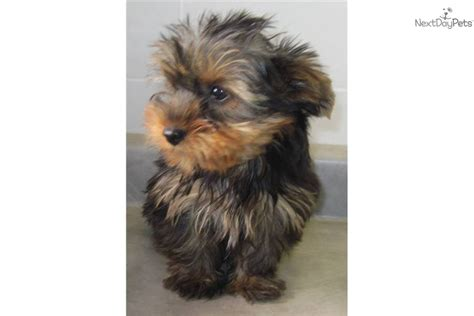 silver blue yorkie silver yorkie pictures breeds picture