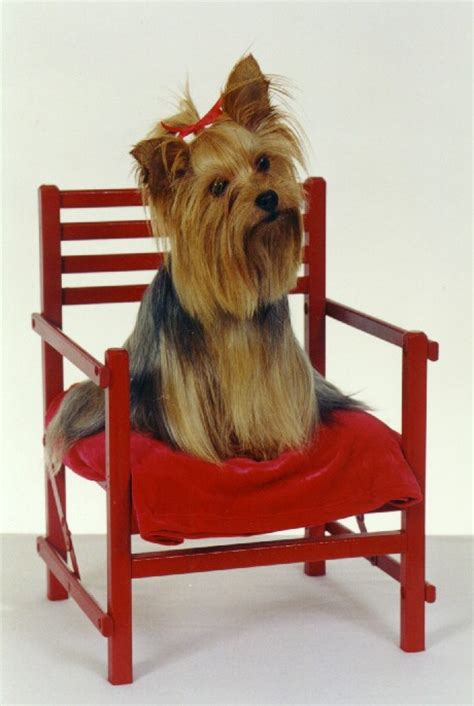 yorkie litter box gracie the terrier inspiration the gracieloo litter box dies at