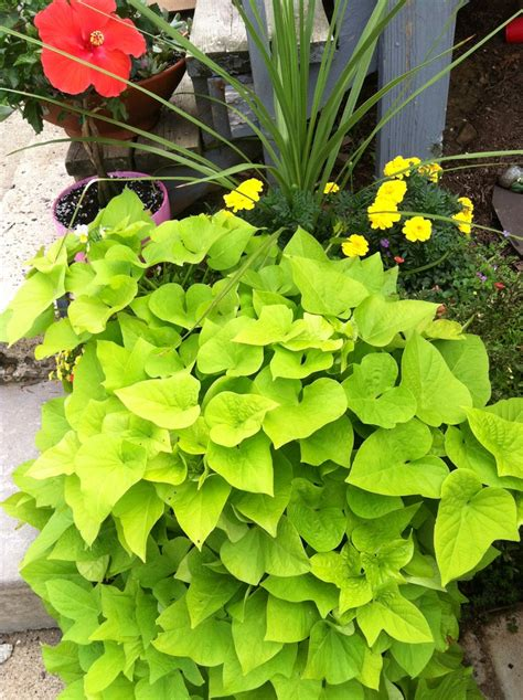 sweet potato vine garden ideas pinterest