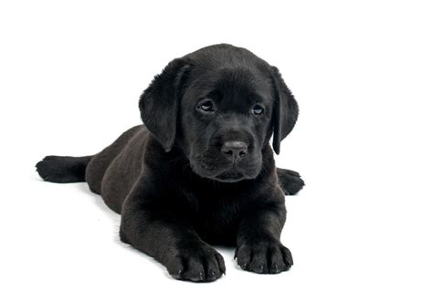 black labrador retriever puppies standards for black lab puppies lovable labradors