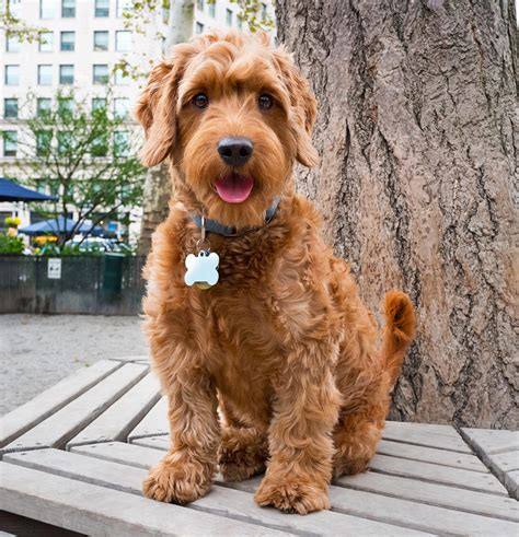 Goldendoodle Haircut Styles Haircuts Models Ideas