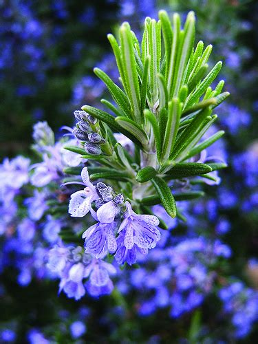 rosemary flower pictures meanings