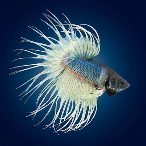 Crowntail Blue Stell 141 best images about betta fish on copper