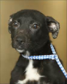 Dogs For Adoption Lucas County Dogs For Adoption 1 31 Toledo Blade