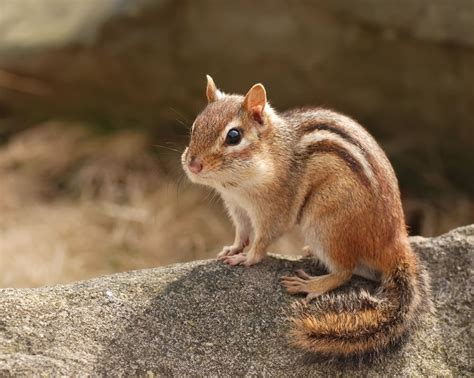 A Chipmunk - chipmunks animals facts pictures the wildlife