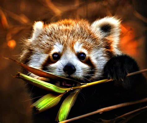 sweet red panda wallpaper iphone wallpaper wallpaperlepi