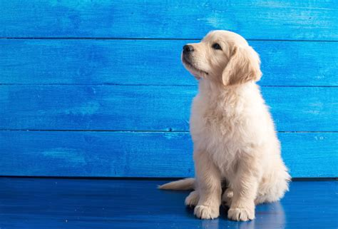 golden retrievers uk golden retriever dogs breed information omlet