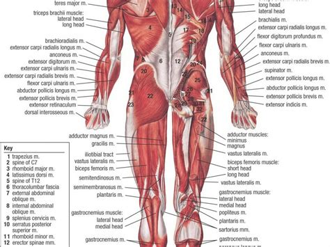 anatomical sections of the body parts of the anatomy parts of the body organs anatomy