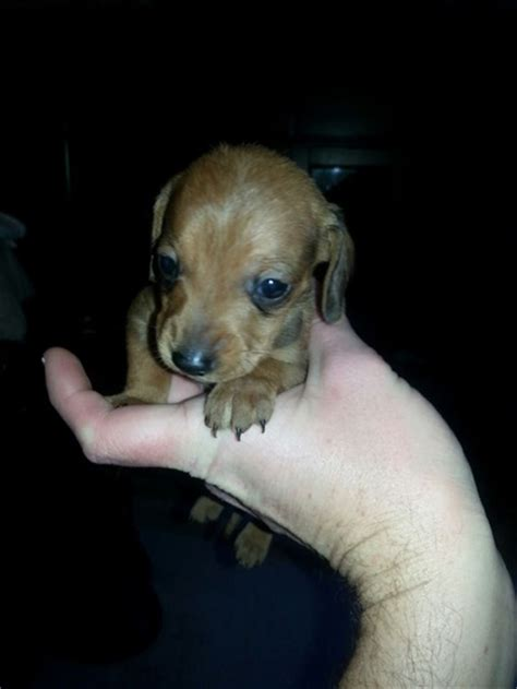 dogs for sale columbus ohio puppies dachshund puppies for sale columbus ohio