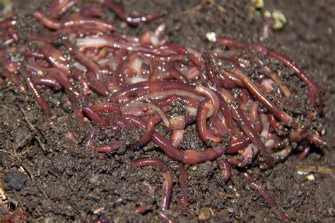 Cara Budidaya Cacing Yang Mudah panduan lengkap cara budidaya cacing tanah lumbricus
