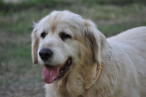 golden retriever gold coast golden memories costadoro golden retrievers breeds picture