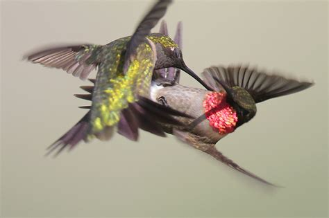 ruby throated hummingbird photo greg lavaty photos at
