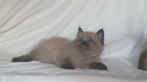 a ragdoll to available ragdoll kittens amorpurrfectragdolls